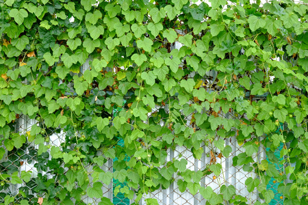 wire fence: ivy growing on wire fence Stock Photo