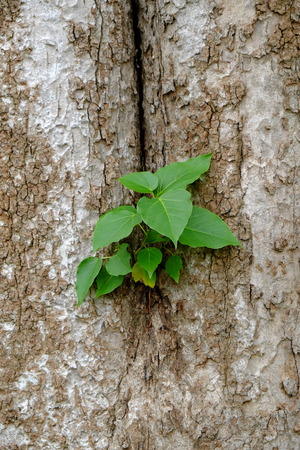 face in tree bark: Small Bodhi Tree