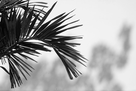 black and white palm leaf with white wall and shadow Stockfoto