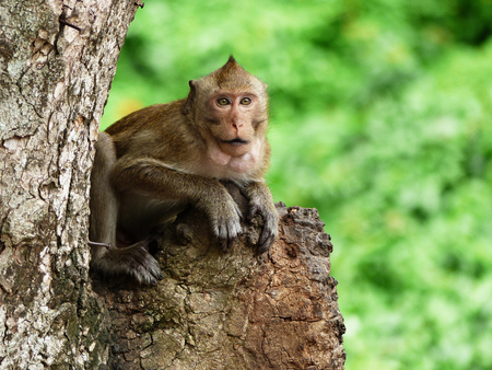 Monkey is sitting on the tree, Macaque monkey, Thailand