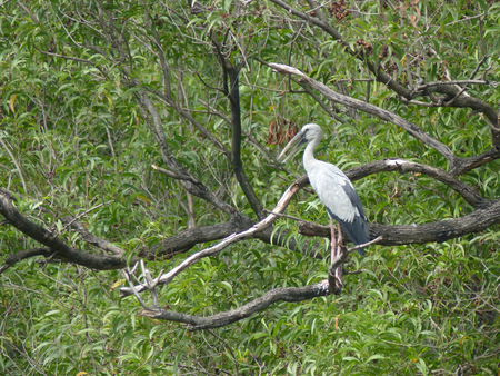 oscitans: Open-billed stork Asian openbill Anastomus oscitans