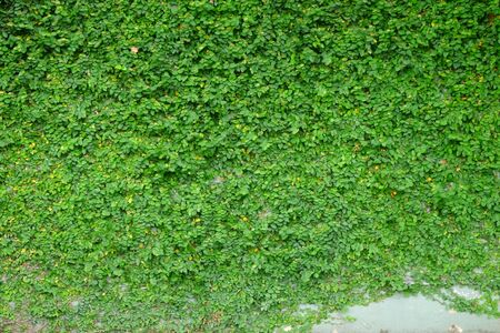 creeper: Green creeper on cement wall Stock Photo