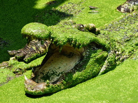 duckweed: Big crocodile and green plant in lake