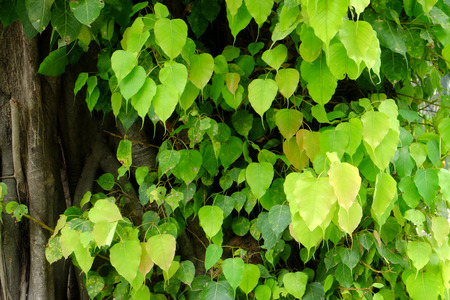 Bodhi or Peepal Leaf from the Bodhi tree, Sacred Tree for Hindus and Buddhist Stock Photo