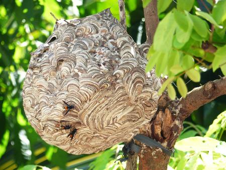hornet nest of carnivore or Vespa affinis