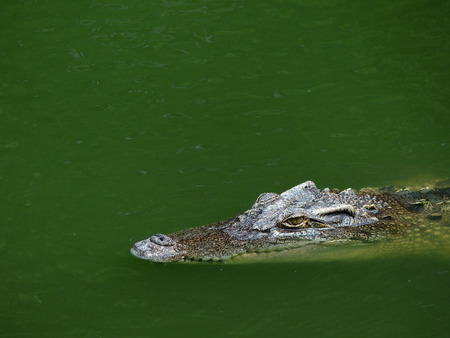 Crocodile with head above water hunting for food