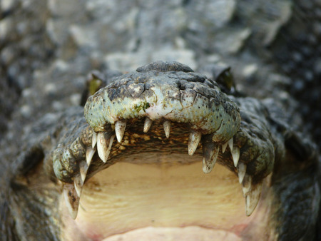 closeup of the mouth and teeth of a crocodile Stock Photo