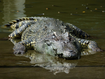 siamensis: crocodile on water