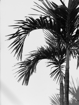 nearness: black and white palm tree