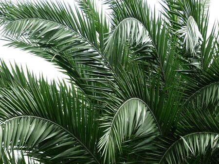 plants species: albero di foglia di palma nel parco Archivio Fotografico