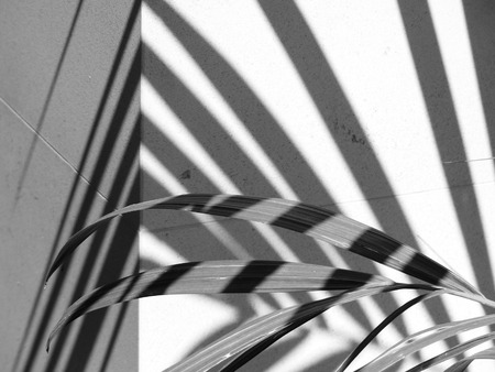 nearness: black and white palm leaf with white wall and shadow Stock Photo