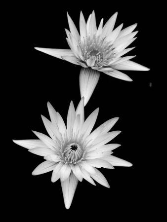 black and white lotus on black background Stock Photo