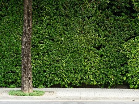 Groene blad bos muur met voetpad