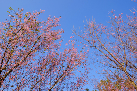 Thailands sakura or Prunus cerasoides at Phu Lom Lo mountain, Loei , Thailand