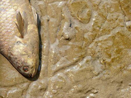 Dead fish on mud
