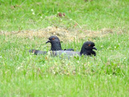 pigeon on grass lawn in garden