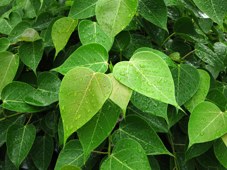 Bodhi Leaf from the Bodhi tree Stock Photo