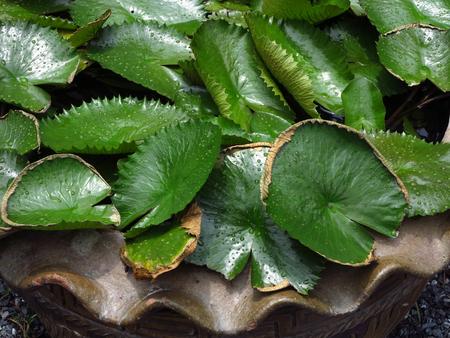ollas de barro: water drop on lotus leaf in pot