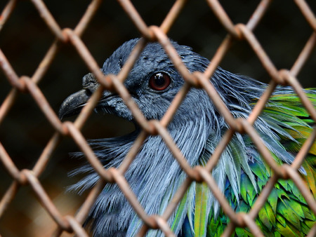 Nicobar pigeon in the cage at zoo Stock Photo