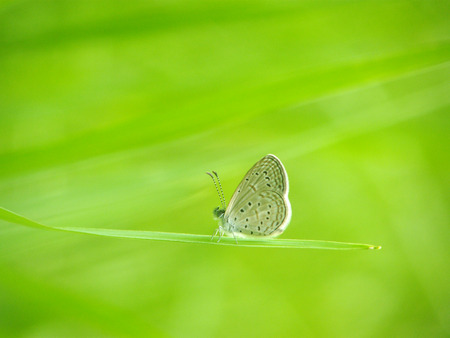 Lesser Grass Blue Butterfly on grass in nature