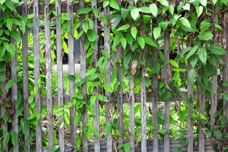 ivy leaf plant on wood fence Stock Photo