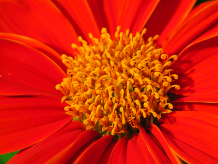 closeup pollen of red Mexican sunflower, Tithonia rotundifolia