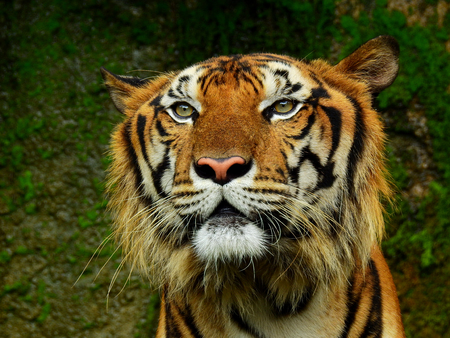 face of royal tiger in the zoo
