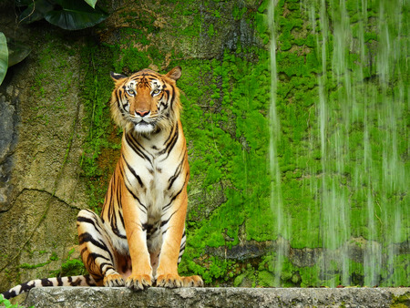 royal tiger in the zoo