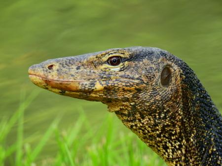 black textured background: face of water monitor (Varanus salvator) closeup
