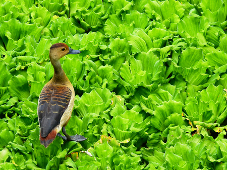 lesser whistling duck ( Dendrocygna javanica ) on Pistia stratiotes in the pond Stock Photo
