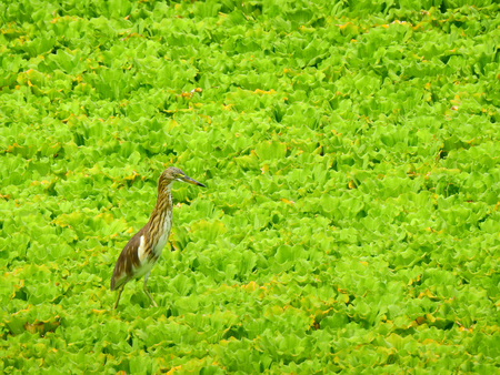 Chinese Pond Heron (Ardeola bacchus) bird on Pistia stratiotes in the pond