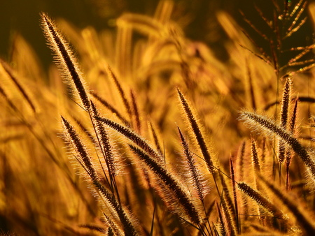 flower of grass ( Pennisetum polystachyon (L.) Schult. ) on the way to the morning light Stock Photo