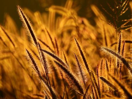 flower of grass ( Pennisetum polystachyon (L.) Schult. ) on the way to the morning light Zdjęcie Seryjne