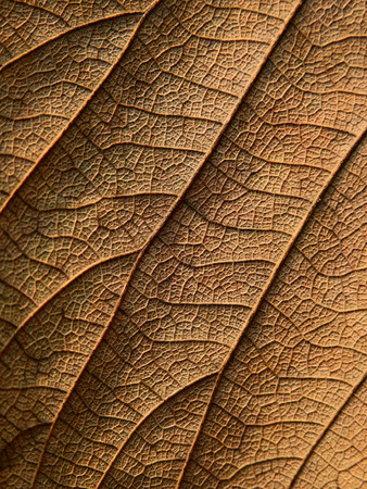 dry brown leaf texture ( Bastard teak,Bengal kino,Kino tree,Flame of the forest )