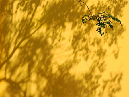 shadow leaf on the yellow wall with branch of tree 写真素材
