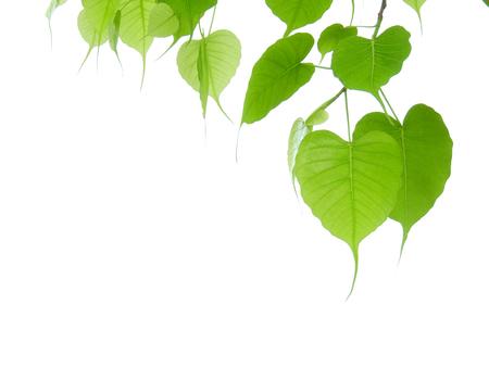 green bodhi leaf on white background 스톡 콘텐츠