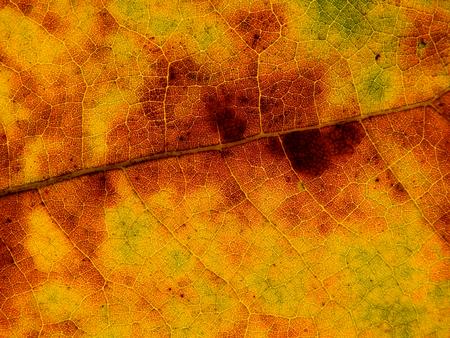 colouful autumn leaf texture ( Bastard teak,Bengal kino,Kino tree,Flame of the forest ) Archivio Fotografico