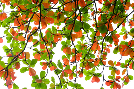 colorful leaf on branch of tree in the autumn season, Indian Almond(Terminalia catappa L.)