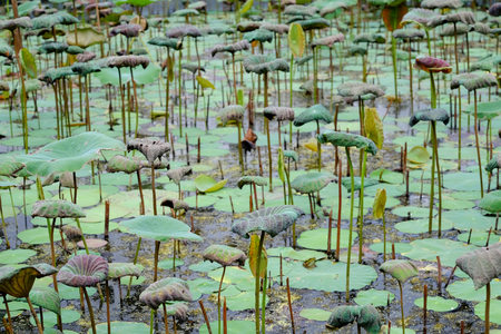 dead lotus plant in the pond Stok Fotoğraf