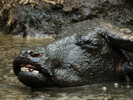 closeup face of buffalo in mud swamp at countryside Thailand