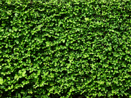 green leaf bush wall background Standard-Bild