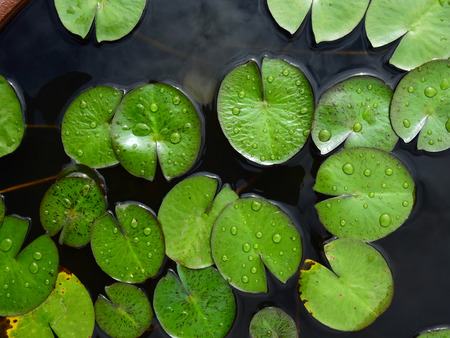 green lotus leaf with water drop in the pond Imagens