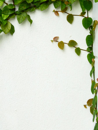 green ivy leaf (Ficus pumila) on white wall