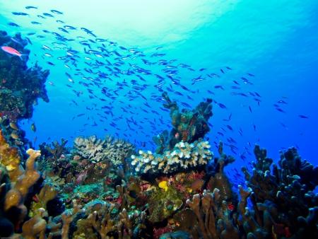 arrecife: Ense�anza en peque�os peces saludables arrecife en la isla de Eratoka.  Foto de archivo