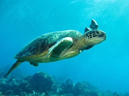 A green sea turtle with a damaged fin.  photo