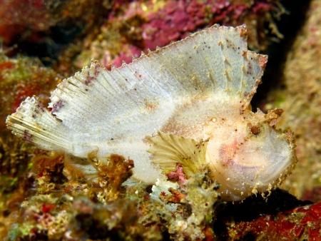 A white Leafy Scorpionfish photo