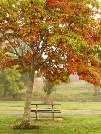 autum: The leaves are changing colours on a foggy morning.   .