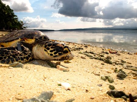 way out: A yearling Hawksbill turtle makes Its way out to sea.