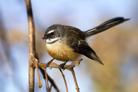 A New Zealand Fantail bird perched on a branch. Banco de Imagens
