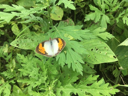 White ,yellow butterfly resulted from cross pairing,which was shot in cloudy weather Фото со стока